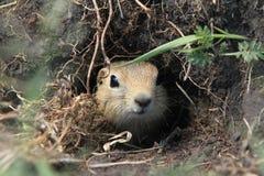 Marmotte mongole Fotografia Stock
