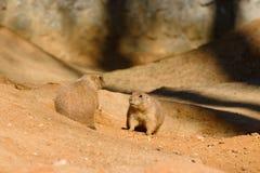 Marmotte munite il nero che giocano al sole Immagini Stock
