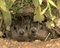 Marmotte nordamericane Immagini Stock