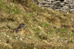 Marmotte parmi l'herbe Images stock