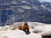 Marmotte placé sur demi de dôme, Yosemite Image stock