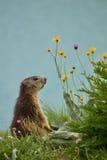 Marmotte rêveuse sauvage photos stock