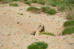 Marmotte sauvage dans le pré alpin Photographie stock