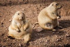 Marmotte su terra Immagini Stock