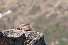 Marmotte sur la roche Photo libre de droits