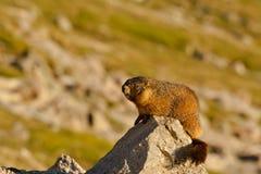 Marmotte sur la roche Photographie stock libre de droits