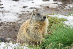 Marmotte sur le cordon neigeux Photo stock