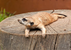 Marmotte sur un arbre-tronçon Photos libres de droits