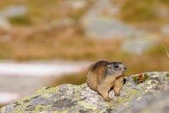 Marmotte sur un rocher Image libre de droits