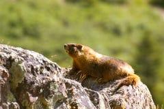 Marmotte sur une roche Image libre de droits
