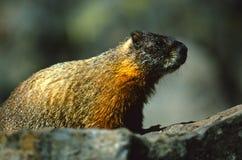 Marmotte sur une roche Photographie stock