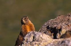 Marmotte sur une roche Image stock
