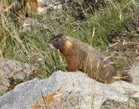 Marmotte sur une roche Photo libre de droits