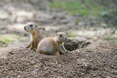 Marmotte vigili Immagini Stock Libere da Diritti