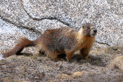 Marmotte Yellow-bellied Photos libres de droits