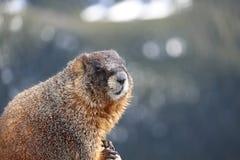 Marmotte Yellow-bellied photographie stock libre de droits