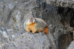 Marmotte Yellow-bellied (flaviventris de Marmota) Photo stock