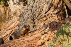 Marmotte Yellow-bellied, flaviventris de Marmota Photos libres de droits