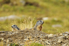 2 marmotten Royalty-vrije Stock Foto's
