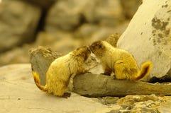 marmotten Royalty-vrije Stock Afbeelding