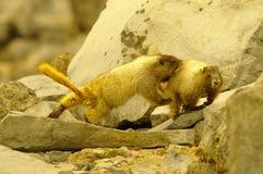 marmotten Royalty-vrije Stock Foto's
