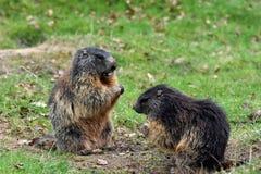 marmotten Stock Afbeelding