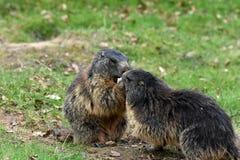 marmotten Stock Foto's