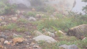 Marmotten die in lang berggras spelen stock videobeelden