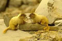 marmottes Photos stock