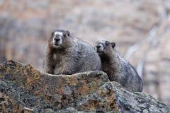 Marmottes blanchies en Rocky Mountains Images libres de droits