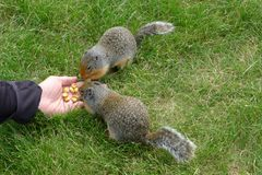Marmottes de alimentation Images stock