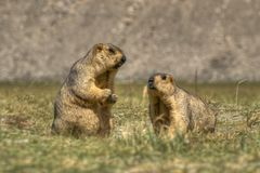 Marmottes de l'Himalaya - himalayana de Marmota, paire, faune de ladakh, Jammu-et-Cachemire, Inde Image stock