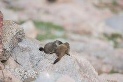 Marmottes gonflées par jaune de bébé Photographie stock