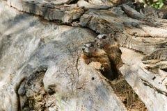 Marmottes Jaune-gonflées par bébé Image libre de droits