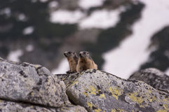 Marmottes sur les roches Tatry Photos stock