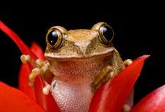 marmurkowata żaby płocha Obrazy Stock