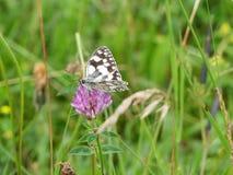 Marmurkowaty biały motyl na dzikiego kwiatu głowie zdjęcie royalty free