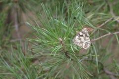 Marmurkowaty biały motyl na tłustoszowatym młodym sprig sosna fotografia stock