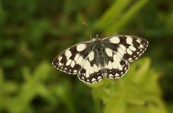 Marmurkowaty Biały Motyli Melanargia galathea nectaring kwiat Zdjęcia Royalty Free