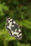 Marmurkowaty Biały Motyli Melanargia galathea nectaring kwiat Zdjęcia Stock