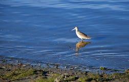 Marmurkowaty Godwit w newport beach backbay Zdjęcia Royalty Free