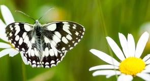 marmurkowaty motyla biel Obraz Royalty Free