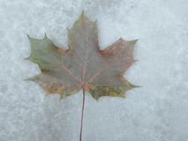 Marmurowa tekstura z liściem klonowym Obraz Stock