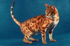 Marmurowy Bengalia kot obracający z powrotem Obrazy Royalty Free