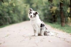 Marmurowy Border Collie siedzi na drodze w lesie zdjęcia stock