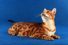 Marmurowy kot Bengalia traken podnosił swój głowę przeciw błękitnemu Fotografia Royalty Free