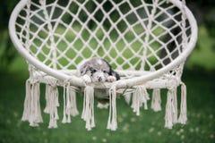 Marmurowy szczeniaka Border collie dosypianie w białym hamaku w naturze zdjęcia royalty free