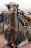 Marockansk kamel Arkivfoton