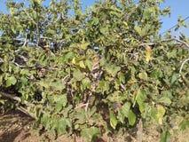 Marockanska fikonträd Arkivfoto