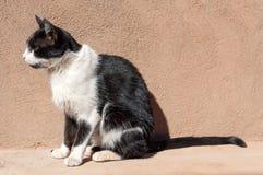 Marokańczyka semi dziki kot Obrazy Stock